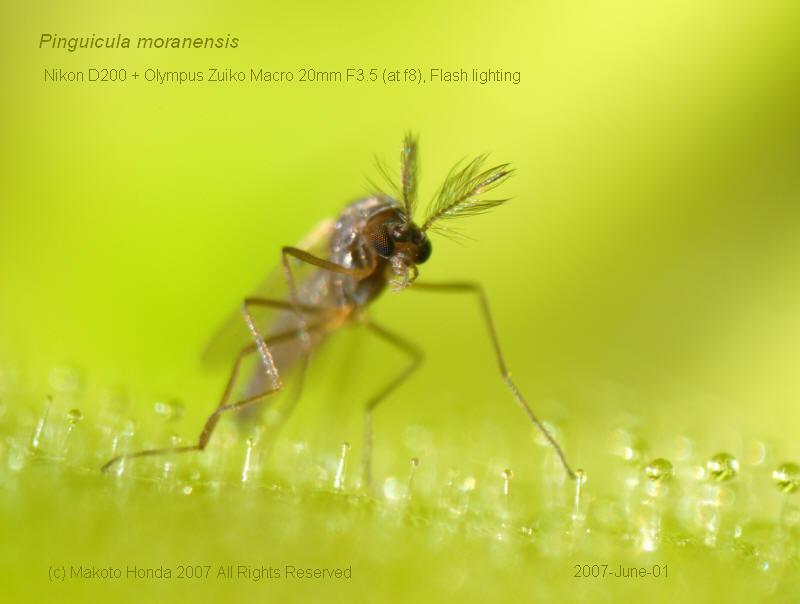 Flies, The - Venus Man Trap