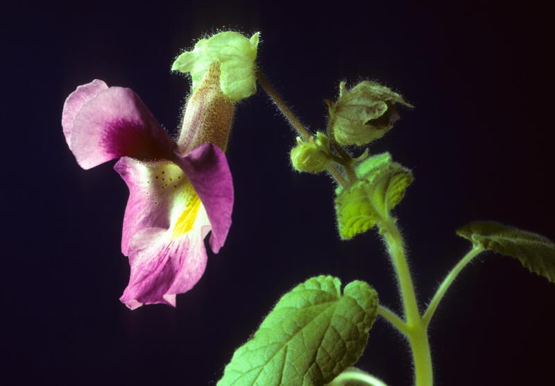 proboscidea photo carnivorous plant proboscidea parviflora by makoto honda
