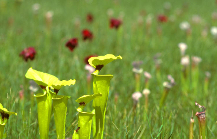 Photo Carnivorous Plant Sarracenia By Makoto Honda