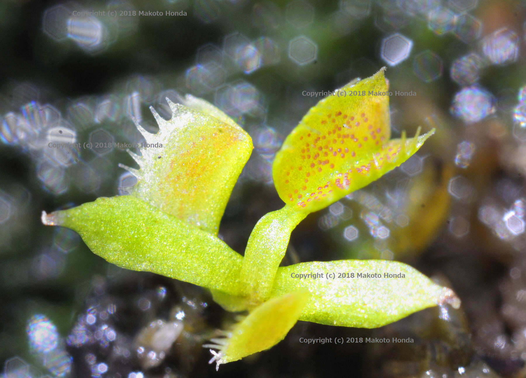 Carnivorous Plants/Insectivorous Plants in the Wilderness